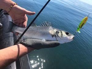 European Bass (Seabass) — Kévin Araujo