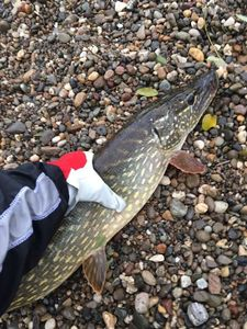 Northern Pike — Jean Francois Gomes