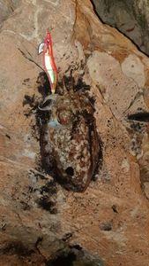 Common Cuttlefish — Thibault  Dominguez