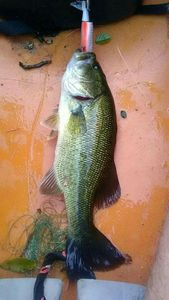 Largemouth Bass — Régis Foissac