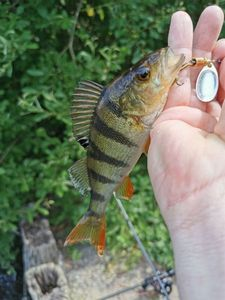 European Perch — Jeremy Telle