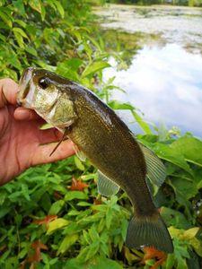 Largemouth Bass — Ju Fisherman