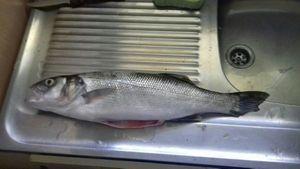 European Bass — Romain Lefeuvre