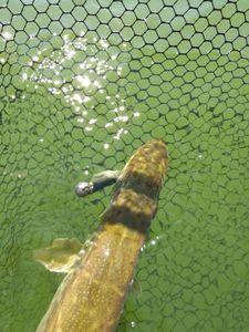 Northern Pike — Philippe Baran Philfish