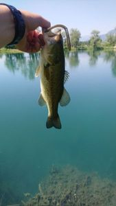 Largemouth Bass — David Gaidet