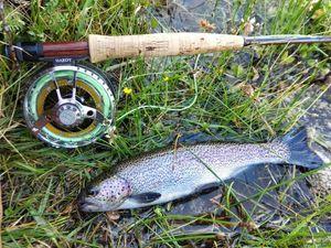 Rainbow Trout — Romain Mtn