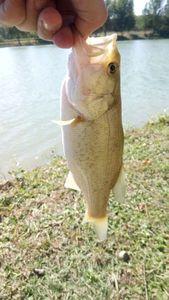 Largemouth Bass — Florian Prieto