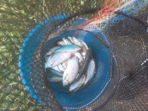 Roach — Matty Fishermen13