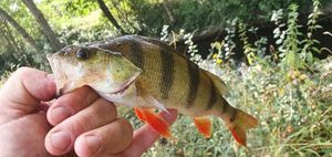 European Perch — bruno duboeuf
