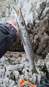 Yellowmouth Barracuda