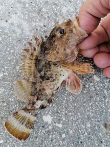 Brown Scorpionfish