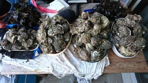 Pacific Oyster — surfcasting lx