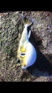 Blunthead Puffer (Balloonfish)