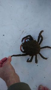 Araignée de Mer Atlantique