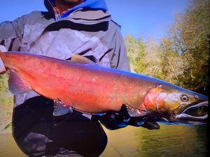 Chinook Salmon — Pinsquiccia JJ