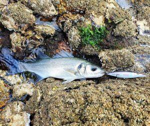 European Bass (Seabass) — Baptiste NaturalFisher