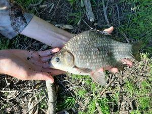 Crucian Carp — Kr Fish