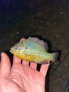 Green Sunfish — Pescaïre 31
