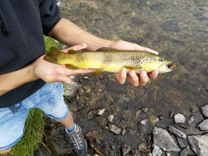 Brown Trout — Gabriel Daumas