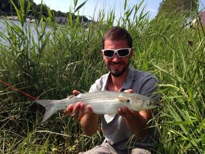 Thicklip Grey Mullet — Quentin ..