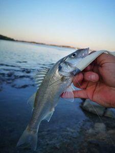 European Bass (Seabass) — Rémi Vanassche