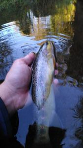 Brown Trout — fishiscoming fr