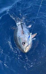 Southern Bluefin Tuna — Philippe ROUX