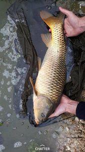 Common Carp