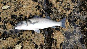 European Bass (Seabass) — Benoit Rochot