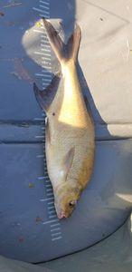 Common Bream — Niedramon Fisch17