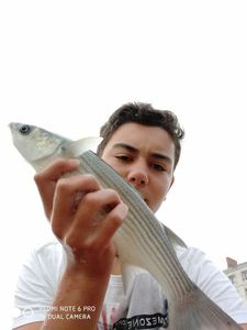 Flathead Grey Mullet — TIM FISH (Youtube)