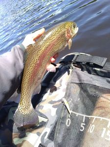 Rainbow Trout — fishiscoming fr