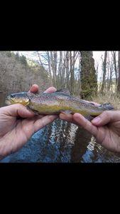 Brown Trout — Leurre 2 fish