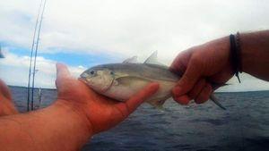 Bar jack — Tynilla Fishing