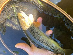 Brown Trout — Bell Clery
