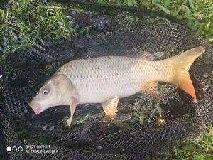 Common Carp — Janos Hantos