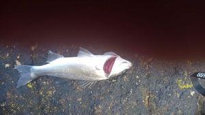 European Bass (Seabass) — Bernard DAGORN