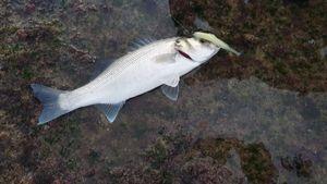 European Bass (Seabass) — Youssef Chraibi