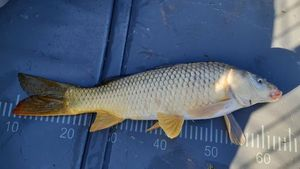 Common Carp — Estelle Valentin