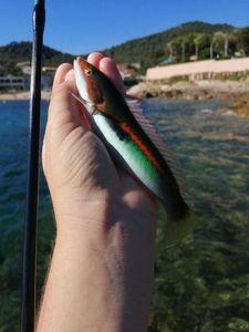 Mediterranean Rainbow Wrasse — Adrien Casagrande
