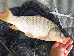 Common Carp — Anthony Marchais