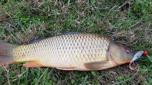 Common Carp — Massimiliano Marchini