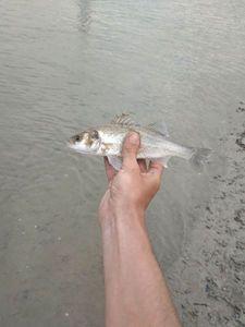 European Bass (Seabass) — Gauthier Masson