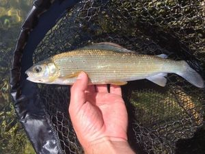 Grayling — Vincent  - Rapala /VMC