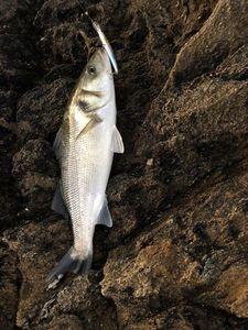 European Bass (Seabass) — Yoann Vetro