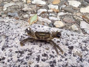 Warty Crab — Adrien Martiniere