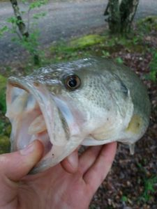 Largemouth Bass — Walker's Fishing