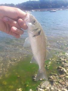 European Bass (Seabass) — maxou lbs