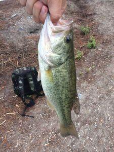 Largemouth Bass — Thomas Callewaert