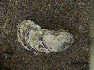 Pacific Oyster — Loic Dufil